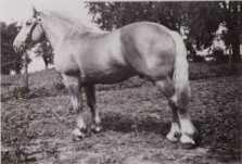 Bavender's King, registration #15, stallion, from the 30's